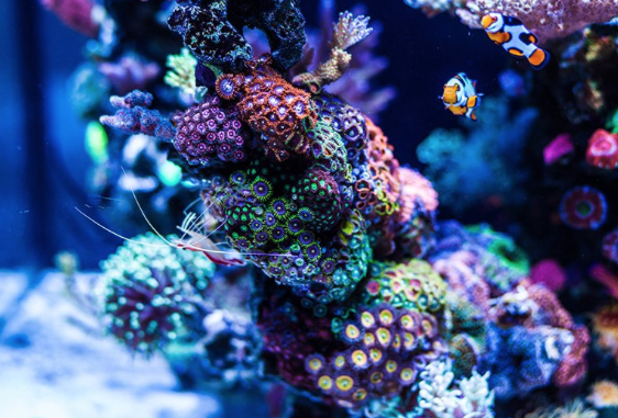 Saltwater Aquarium Coral