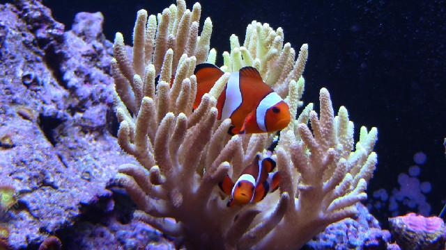 Saltwater aquarium fish for beginners for Popular saltwater fish