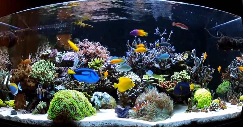 Top 10 saltwater aquarium fish for beginners mad hatter for Saltwater reef fish