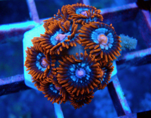 Fire and Ice Zoanthids 2
