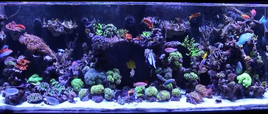 Mad Hatter 39 S Reef Saltwater Tank Information And Care