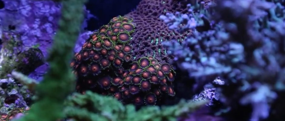 Zoanthid Care