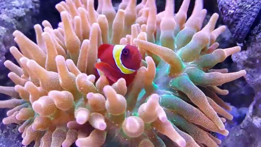 how to breed clownfish in fish with attitude