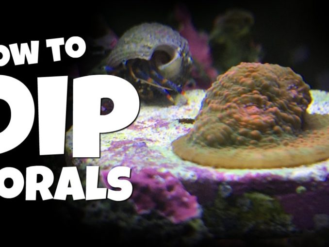 Dipping Corals